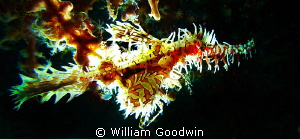 Small Ornate Ghost Pipefish with backlighting. Lembeh Strait by William Goodwin 